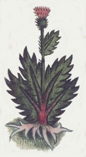 The Herb Quauhtlahuitzquilitl, Page 32 Recto of the Codex Badianus